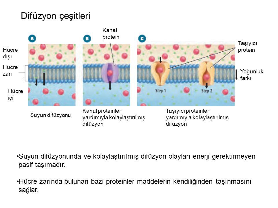 Difüzyon çeşitleri Kanal protein Yoğunluk farkı Taşıyıcı protein Hücre zarı Hücre içi Hücre dışı Kanal proteinler yardımıyla kolaylaştırılmış difüzyon