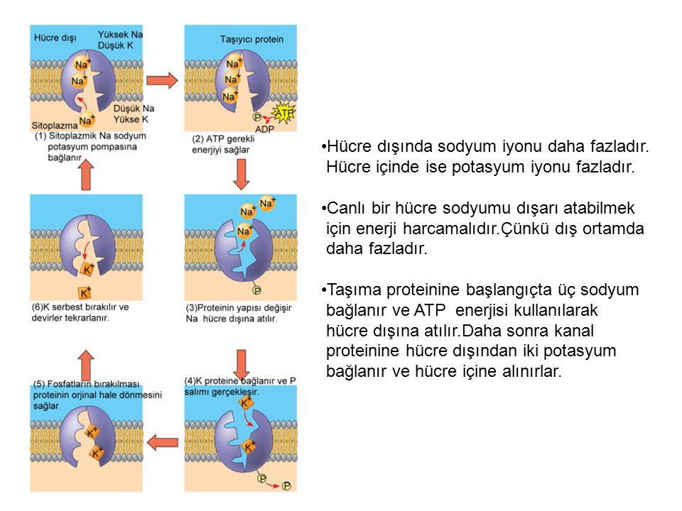 Hücre dışında sodyum iyonu daha fazladır. Hücre içinde ise potasyum iyonu fazladır. Canlı bir hücre sodyumu dışarı atabilmek için enerji harcamalıdır.
