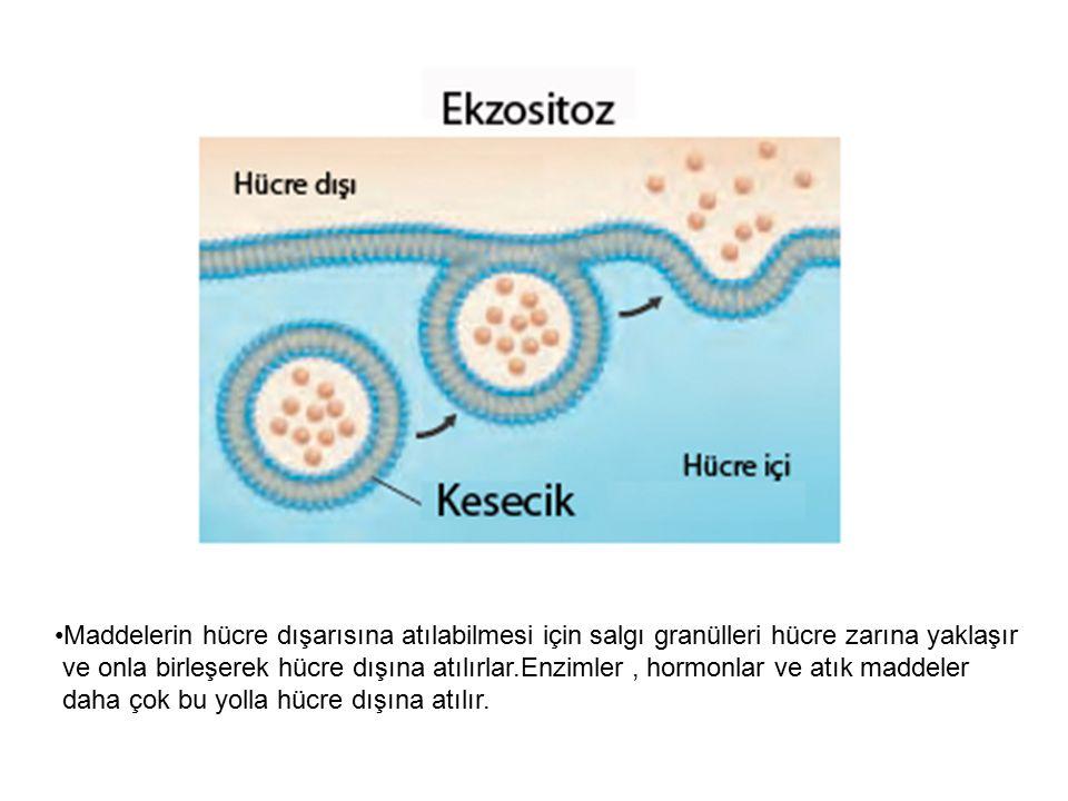 Maddelerin hücre dışarısına atılabilmesi için salgı granülleri hücre zarına yaklaşır ve onla birleşerek hücre dışına atılırlar.Enzimler, hormonlar ve