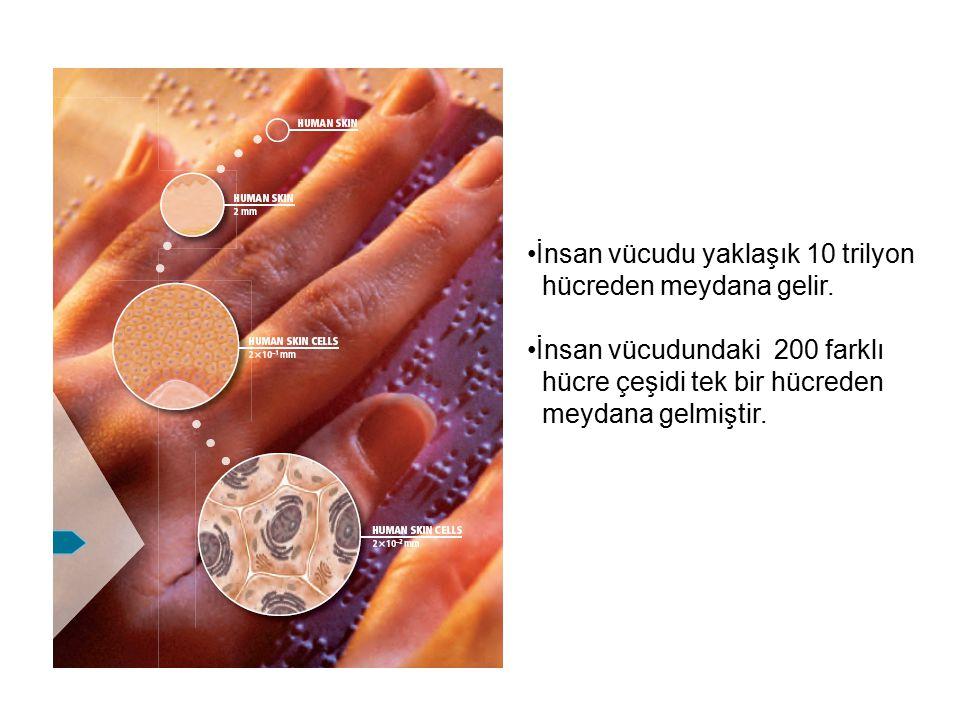 İnsan vücudu yaklaşık 10 trilyon hücreden meydana gelir. İnsan vücudundaki 200 farklı hücre çeşidi tek bir hücreden meydana gelmiştir.