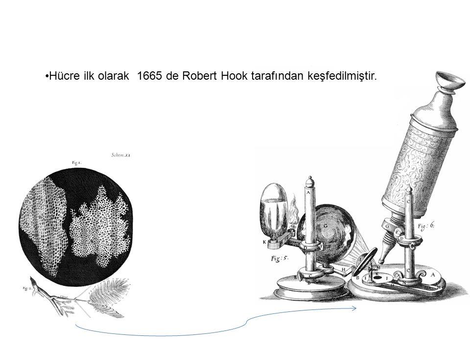 Hücre ilk olarak 1665 de Robert Hook tarafından keşfedilmiştir.