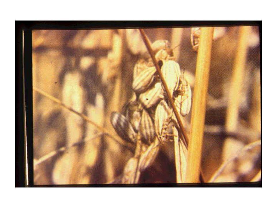 Zararı Kışlaktan ovaya inen kımıl erginleri, hububatı kökboğazı üstünden emerek Kurtboğazı veya Göbek kurusu adı verilen zararı yapar.