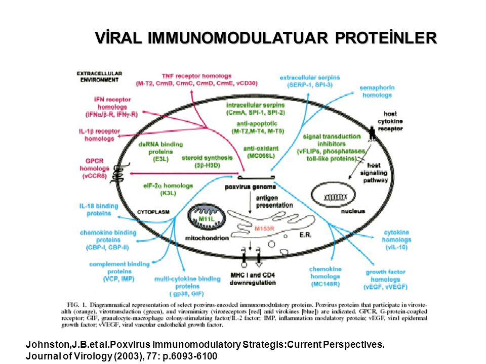 VİRAL IMMUNOMODULATUAR PROTEİNLER j Johnston,J.B.et al.Poxvirus Immunomodulatory Strategis:Current Perspectives. Journal of Virology (2003), 77: p.609