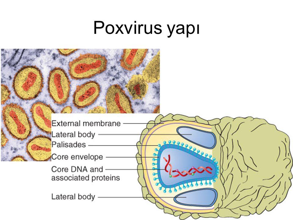 Çiçek hastalığı 10-14 gün inkübasyon Aniden başlayan klinik Döküntüler Yüzde yoğun, tümü aynı evrede V.major olgularında% 5-40 mortalite V.minor olgularında > % 1 mortalite