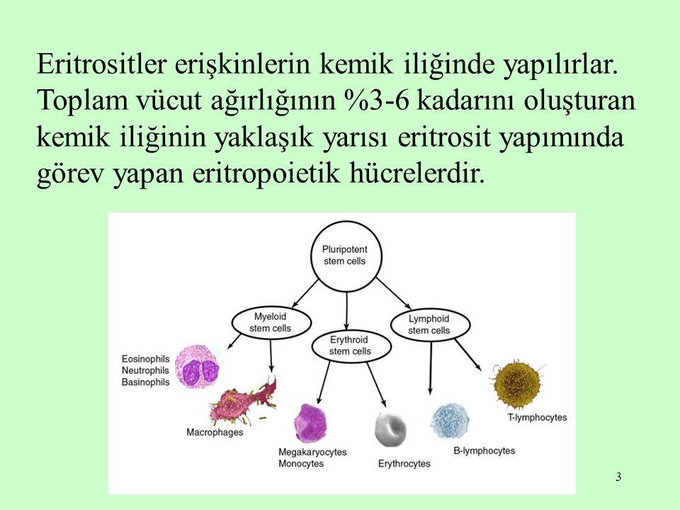 3 Eritrositler erişkinlerin kemik iliğinde yapılırlar. Toplam vücut ağırlığının %3-6 kadarını oluşturan kemik iliğinin yaklaşık yarısı eritrosit yapım