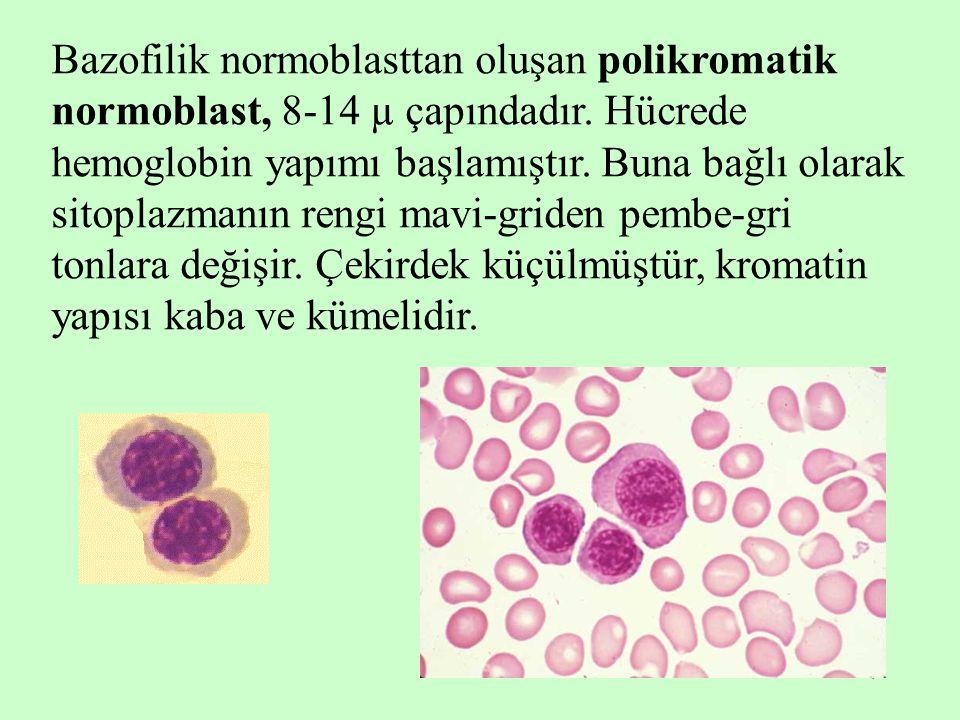 7 Bazofilik normoblasttan oluşan polikromatik normoblast, 8-14 µ çapındadır. Hücrede hemoglobin yapımı başlamıştır. Buna bağlı olarak sitoplazmanın re