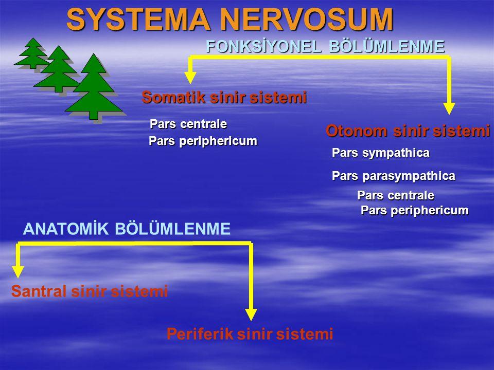 SYSTEMA NERVOSUM ANATOMİK BÖLÜMLENME Santral sinir sistemi Periferik sinir sistemi FONKSİYONEL BÖLÜMLENME Somatik sinir sistemi Otonom sinir sistemi P