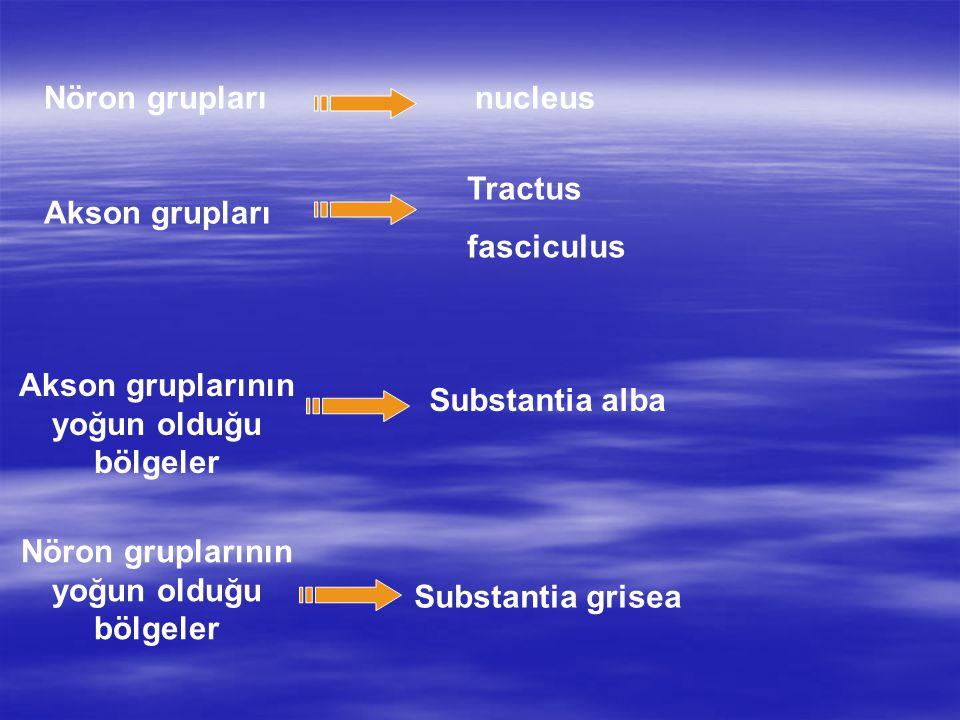 Nöron grupları Akson grupları nucleus Tractus fasciculus Substantia grisea Akson gruplarının yoğun olduğu bölgeler Nöron gruplarının yoğun olduğu bölg