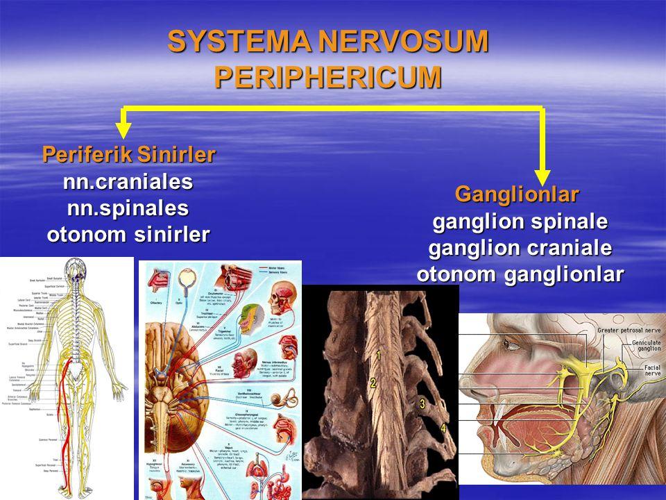 SYSTEMA NERVOSUM PERIPHERICUM Ganglionlar ganglion spinale ganglion spinale ganglion craniale ganglion craniale otonom ganglionlar otonom ganglionlar