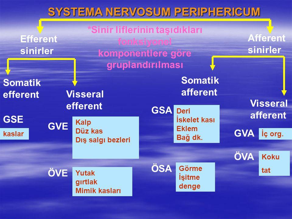 SYSTEMA NERVOSUM PERIPHERICUM Efferent sinirler Afferent sinirler Somatik efferent Visseral efferent GSE GVE ÖVE Somatik afferent Visseral afferent GS