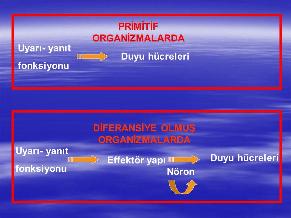 GELİŞMİŞ ORGANİZMALARDA Uyarı yanıt fonksiyonu reseptörler Effektör organlar İyi organize olmuş bir sinir sistemi Tüm sistemleri bütünleştirir Canlı = tek bir varlık Temel eleman NÖRON