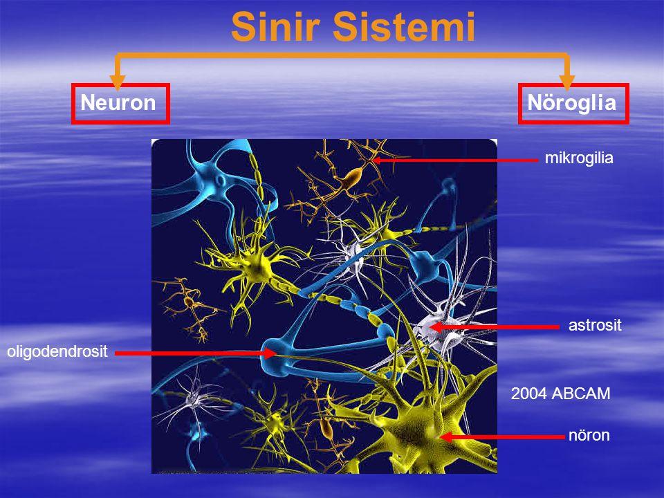 Sinir Sistemi NeuronNöroglia 2004 ABCAM nöron astrosit oligodendrosit mikrogilia