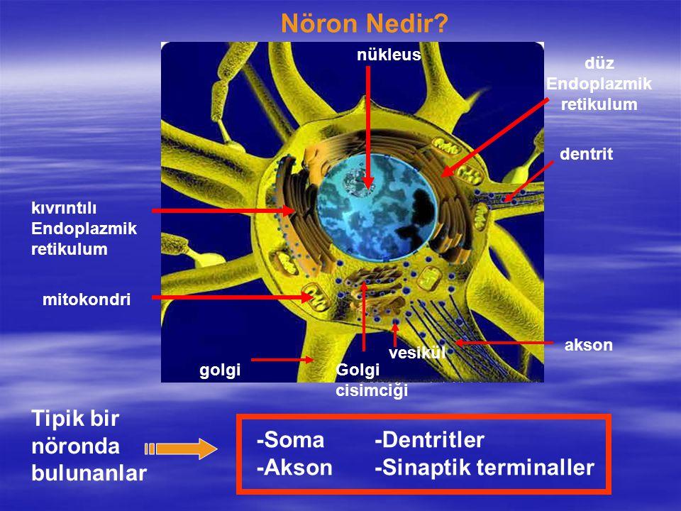 Nöron Nedir? -Soma -Akson -Dentritler -Sinaptik terminaller Tipik bir nöronda bulunanlar kıvrıntılı Endoplazmik retikulum düz Endoplazmik retikulum ak