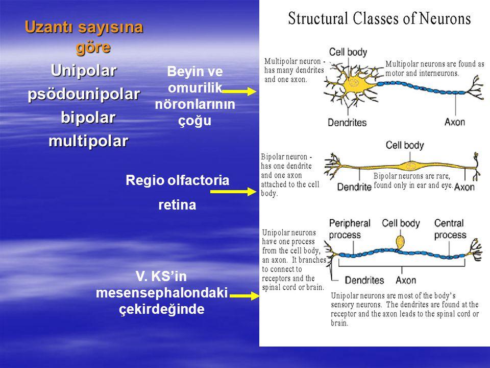 Uzantı sayısına göre Unipolarpsödounipolar bipolar bipolar multipolar multipolar V. KS'in mesensephalondaki çekirdeğinde Regio olfactoria retina Beyin