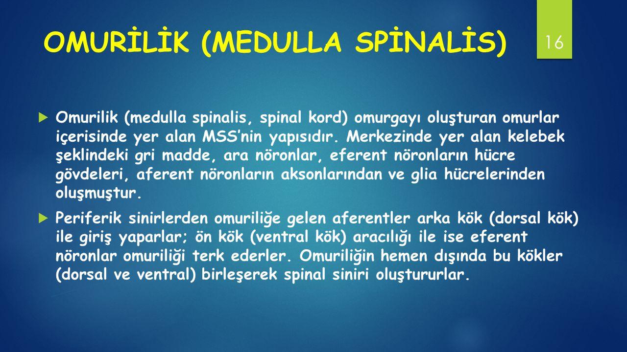 OMURİLİK (MEDULLA SPİNALİS)  Omurilik (medulla spinalis, spinal kord) omurgayı oluşturan omurlar içerisinde yer alan MSS'nin yapısıdır.