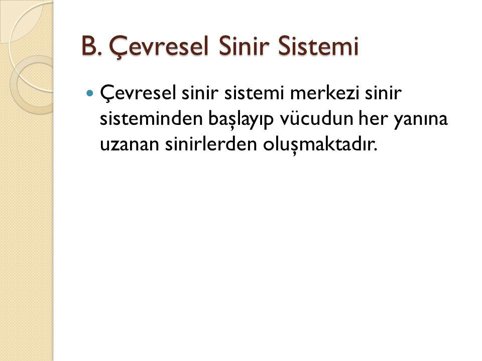 B. Çevresel Sinir Sistemi Çevresel sinir sistemi merkezi sinir sisteminden başlayıp vücudun her yanına uzanan sinirlerden oluşmaktadır.