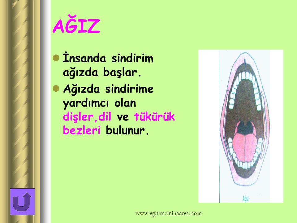 SİNDİRİM ORGANLARININ GÖREVLERİ www.egitimcininadresi.com