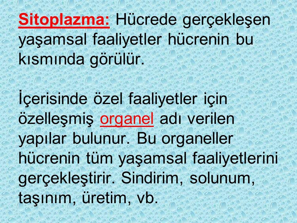 Sitoplazma: Hücrede gerçekleşen yaşamsal faaliyetler hücrenin bu kısmında görülür. İçerisinde özel faaliyetler için özelleşmiş organel adı verilen yap