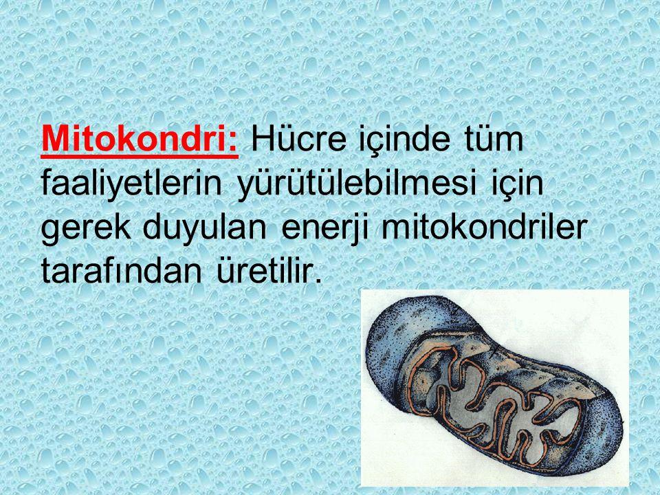 Mitokondri: Hücre içinde tüm faaliyetlerin yürütülebilmesi için gerek duyulan enerji mitokondriler tarafından üretilir.