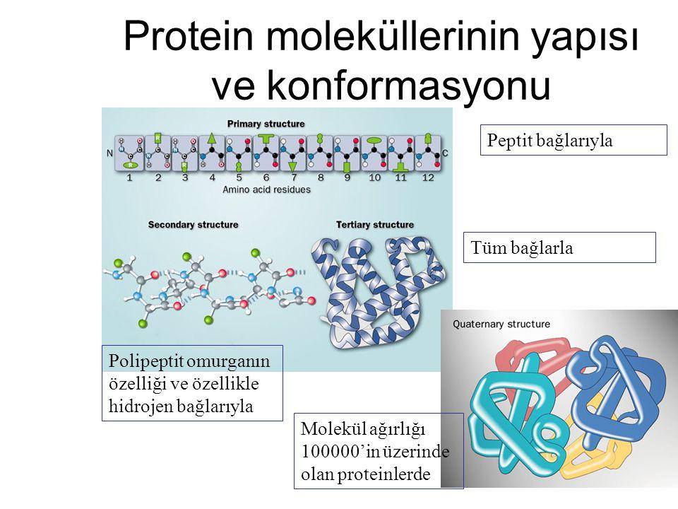 Protein moleküllerinin yapısı ve konformasyonu Peptit bağlarıyla Polipeptit omurganın özelliği ve özellikle hidrojen bağlarıyla Tüm bağlarla Molekül a