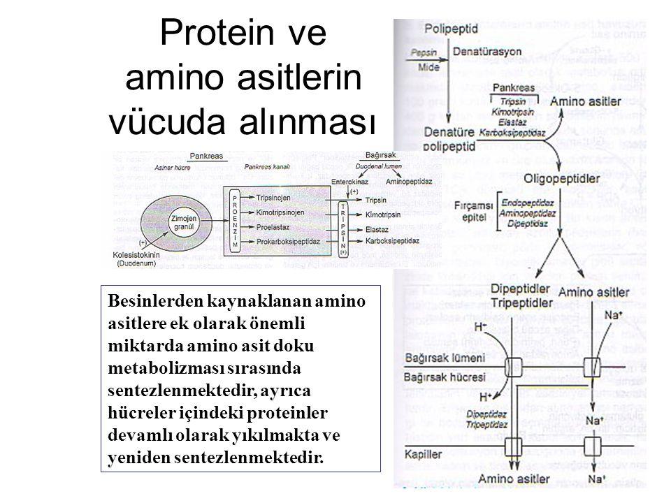 Protein ve amino asitlerin vücuda alınması Besinlerden kaynaklanan amino asitlere ek olarak önemli miktarda amino asit doku metabolizması sırasında se