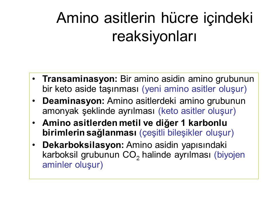 Amino asitlerin hücre içindeki reaksiyonları Transaminasyon: Bir amino asidin amino grubunun bir keto aside taşınması (yeni amino asitler oluşur) Deam