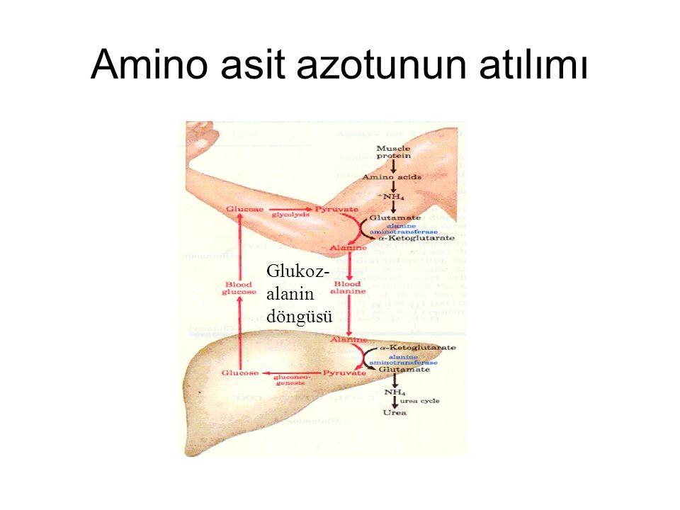 Amino asit azotunun atılımı Glukoz- alanin döngüsü