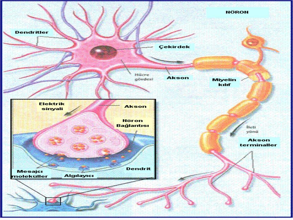Bu bilgi işleme sürecinde algılanan verilerin bir bölümden diğerine gitmesi işin kilit noktalardan biridir. Bu işlemi nöron ve glia adı verilen sinir