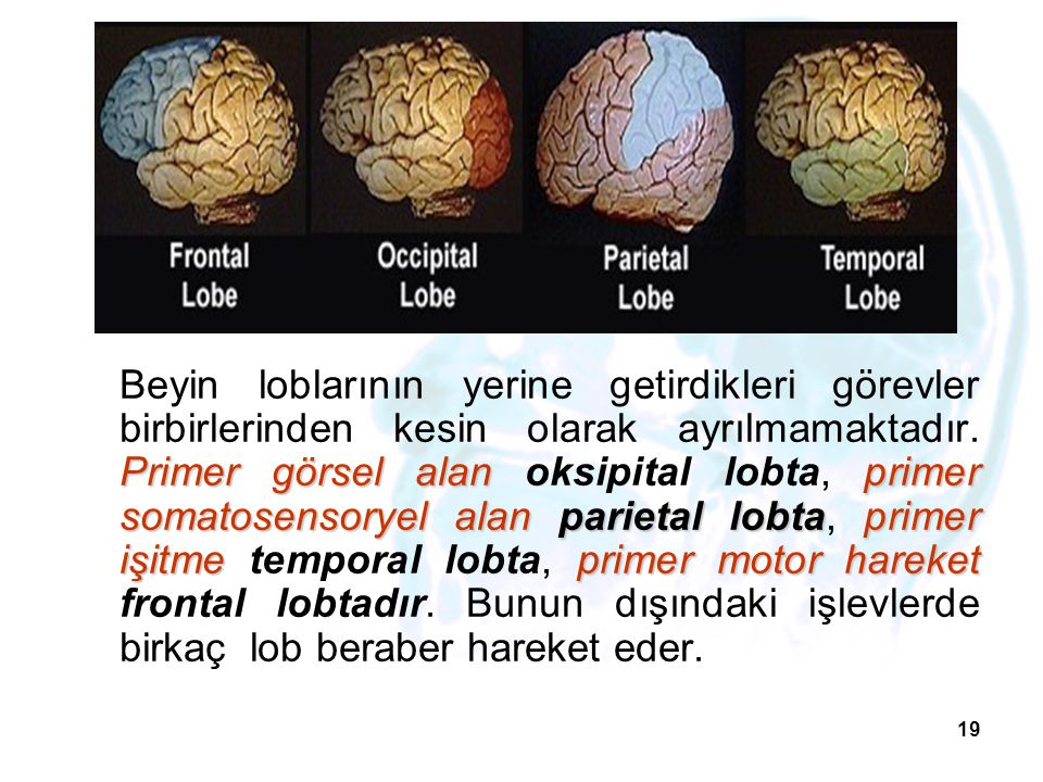 19 Primer görsel alanprimer somatosensoryel alanparietal lobtaprimer işitmeprimer motor hareket Beyin loblarının yerine getirdikleri görevler birbirle