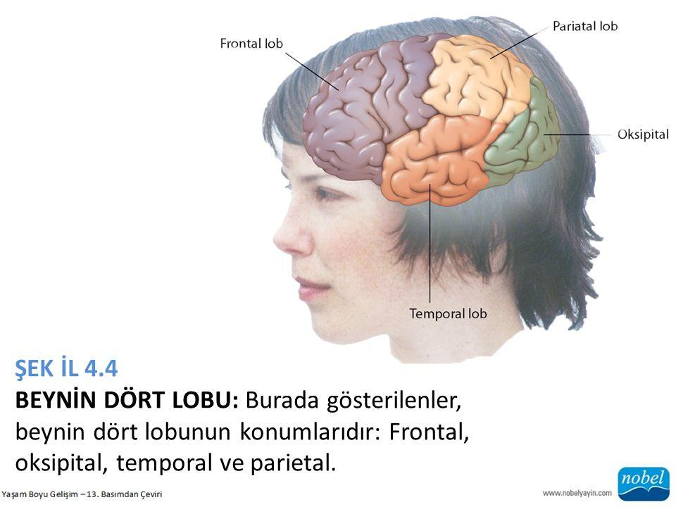 ŞEK İL 4.4 BEYNİN DÖRT LOBU: Burada gösterilenler, beynin dört lobunun konumlarıdır: Frontal, oksipital, temporal ve parietal.