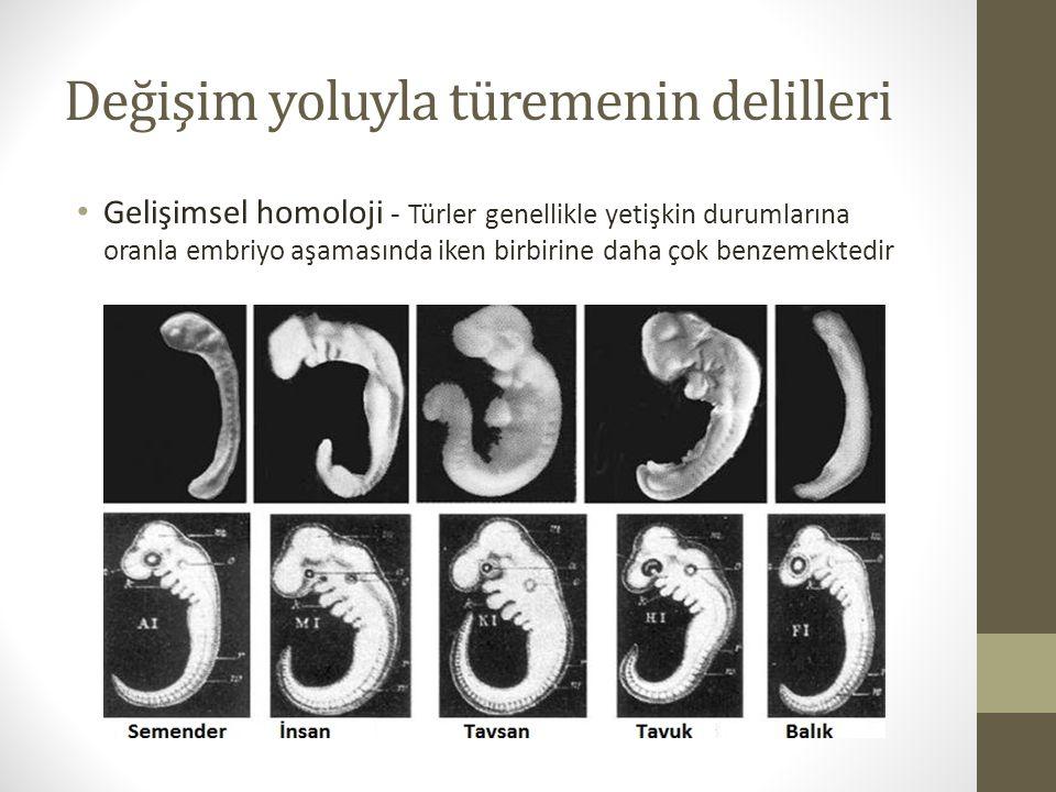 Değişim yoluyla türemenin delilleri Gelişimsel homoloji - Türler genellikle yetişkin durumlarına oranla embriyo aşamasında iken birbirine daha çok benzemektedir