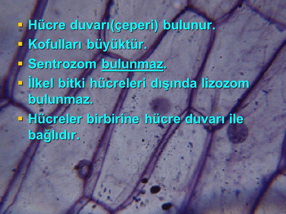  Hücre duvarı(çeperi) bulunur. Kofulları büyüktür.