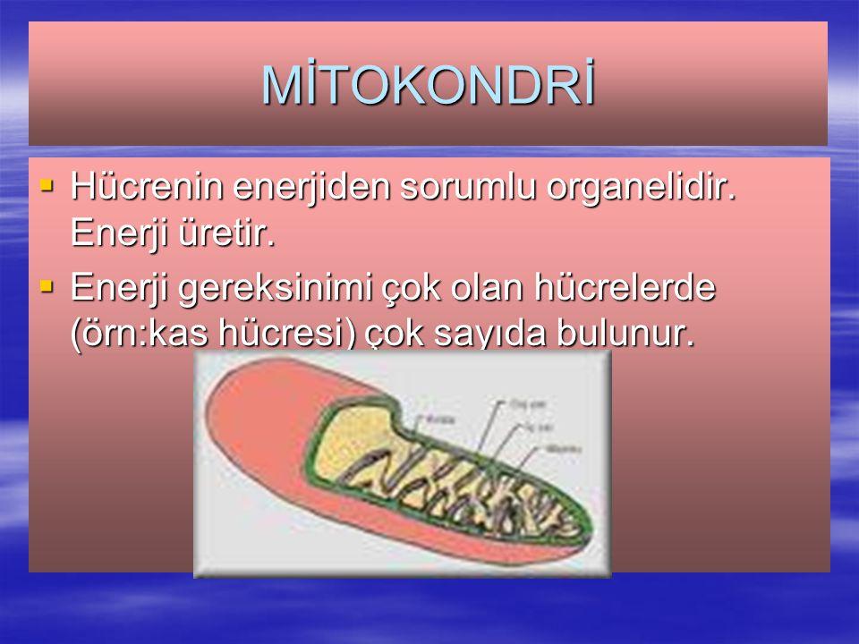 MİTOKONDRİ  Hücrenin enerjiden sorumlu organelidir.