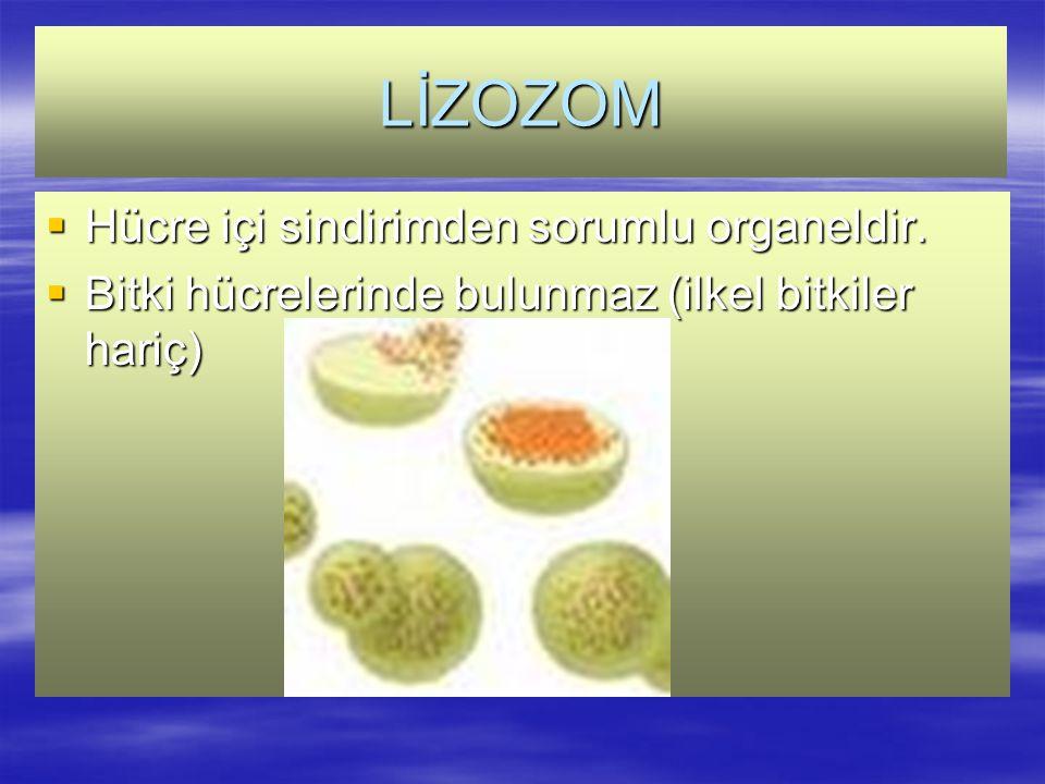 LİZOZOM  Hücre içi sindirimden sorumlu organeldir.