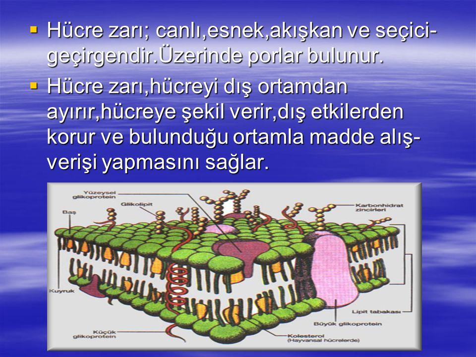  Hücre zarı; canlı,esnek,akışkan ve seçici- geçirgendir.Üzerinde porlar bulunur.