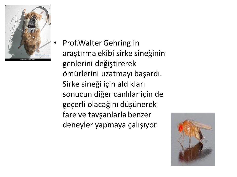 Prof.Walter Gehring in araştırma ekibi sirke sineğinin genlerini değiştirerek ömürlerini uzatmayı başardı.
