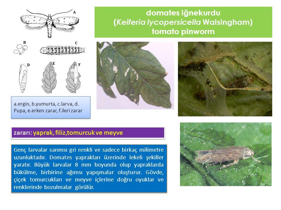 domates iğnekurdu ( Keiferia lycopersicella Walsingham) tomato pinworm Genç larvalar sarımsı gri renkli ve sadece birkaç milimetre uzunluktadır. Domat