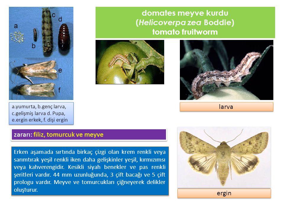 tütün filizkurdu, tütün yeşilkurdu (Heliothis virescens Fabricius ) tobacco budworm Domates meyve kurduna benzer.