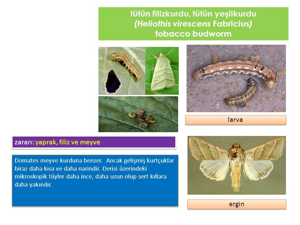 tütün filizkurdu, tütün yeşilkurdu (Heliothis virescens Fabricius ) tobacco budworm Domates meyve kurduna benzer. Ancak gelişmiş kurtçuklar biraz daha