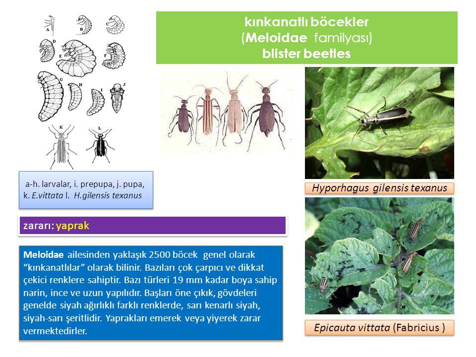"""kınkanatlı böcekler ( Meloidae familyası) blister beetles Meloidae ailesinden yaklaşık 2500 böcek genel olarak """"kınkanatlılar"""" olarak bilinir. Bazılar"""