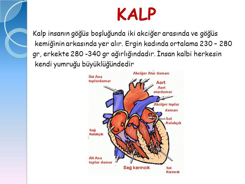 KALP Kalp insanın göğüs boşluğunda iki akciğer arasında ve göğüs kemiğinin arkasında yer alır. Ergin kadında ortalama 230 – 280 gr, erkekte 280 -340 g