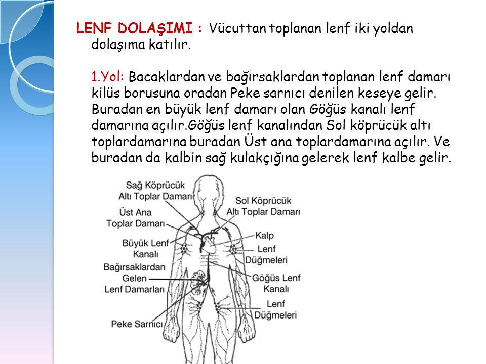 LENF DOLAŞIMI : Vücuttan toplanan lenf iki yoldan dolaşıma katılır. 1.Yol: Bacaklardan ve bağırsaklardan toplanan lenf damarı kilüs borusuna oradan Pe