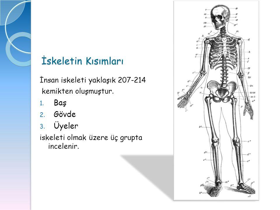 İskeletin Kısımları İnsan iskeleti yaklaşık 207-214 kemikten oluşmuştur. 1. Baş 2. Gövde 3. Üyeler iskeleti olmak üzere üç grupta incelenir.