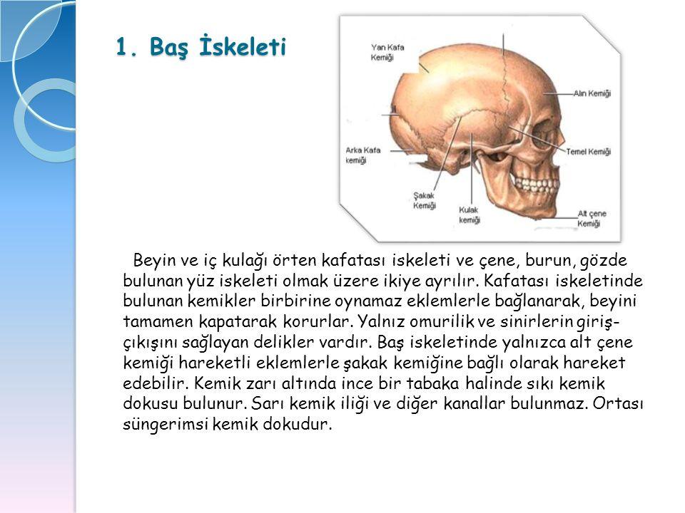 1. Baş İskeleti Beyin ve iç kulağı örten kafatası iskeleti ve çene, burun, gözde bulunan yüz iskeleti olmak üzere ikiye ayrılır. Kafatası iskeletinde
