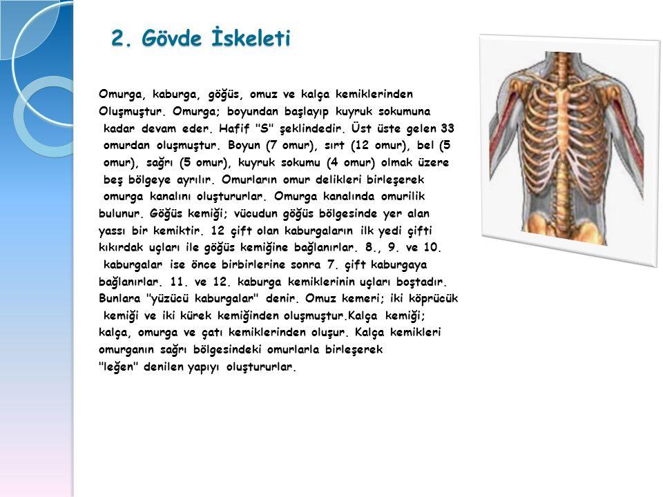 2. Gövde İskeleti Omurga, kaburga, göğüs, omuz ve kalça kemiklerinden Oluşmuştur. Omurga; boyundan başlayıp kuyruk sokumuna kadar devam eder. Hafif