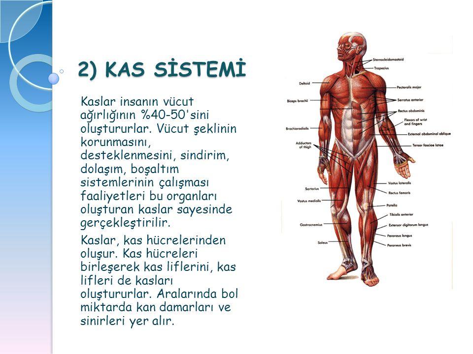 2) KAS SİSTEMİ Kaslar insanın vücut ağırlığının %40-50'sini oluştururlar. Vücut şeklinin korunmasını, desteklenmesini, sindirim, dolaşım, boşaltım sis