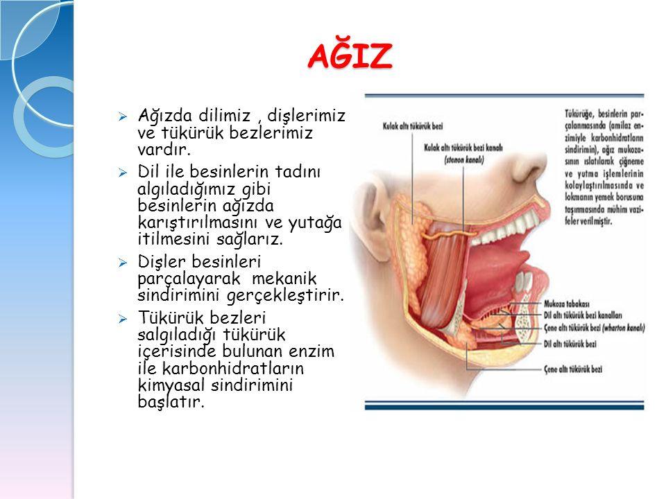2) Tiroid Bezi 2) Tiroid Bezi  Boyunda bulunan iki parçalı bir bezdir.
