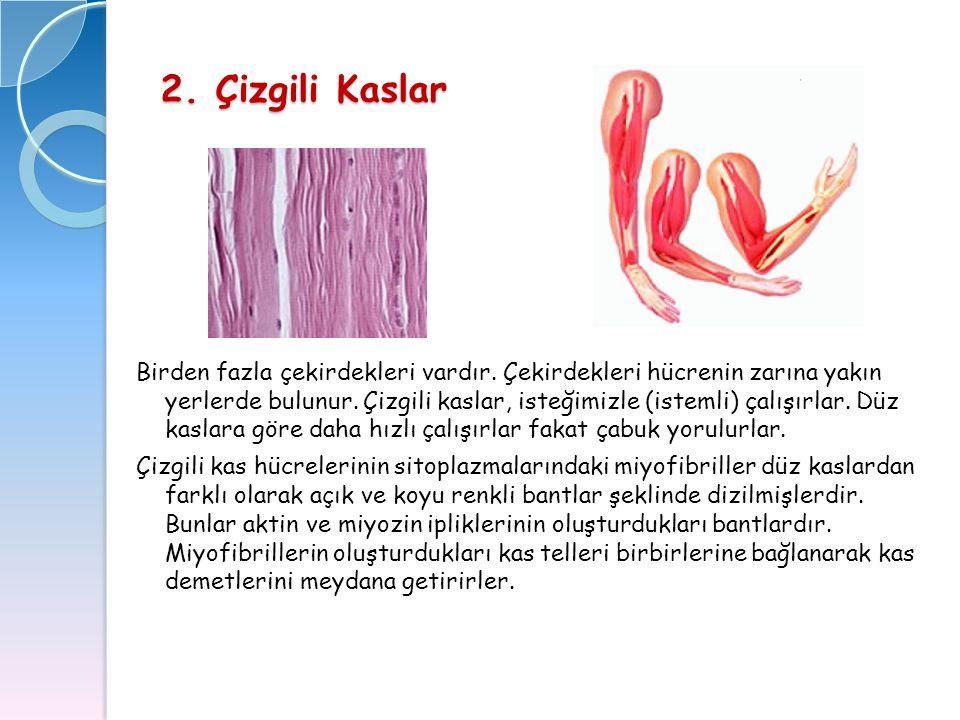 2. Çizgili Kaslar Birden fazla çekirdekleri vardır. Çekirdekleri hücrenin zarına yakın yerlerde bulunur. Çizgili kaslar, isteğimizle (istemli) çalışır
