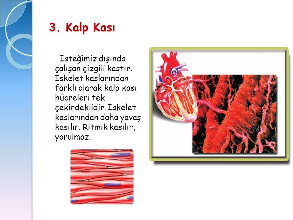 3. Kalp Kası İsteğimiz dışında çalışan çizgili kastır. İskelet kaslarından farklı olarak kalp kası hücreleri tek çekirdeklidir. İskelet kaslarından da