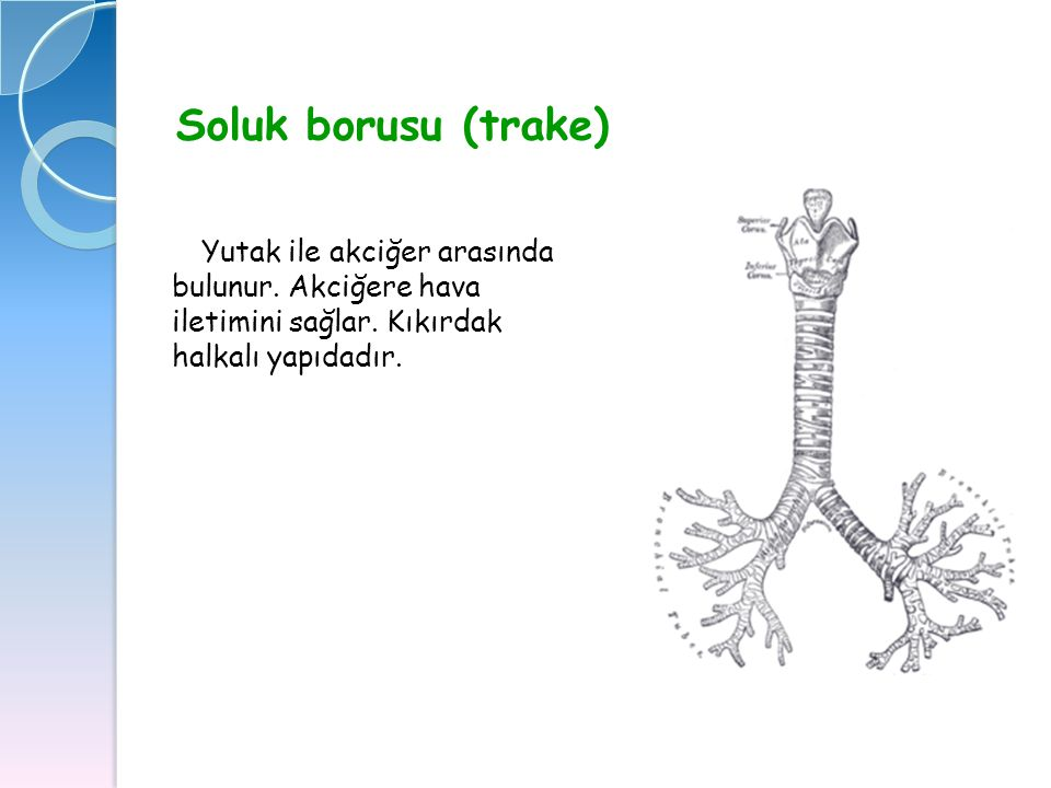 Soluk borusu (trake) Yutak ile akciğer arasında bulunur. Akciğere hava iletimini sağlar. Kıkırdak halkalı yapıdadır.